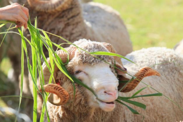 Using merino wool