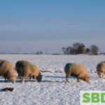 wooly sheep in the snow